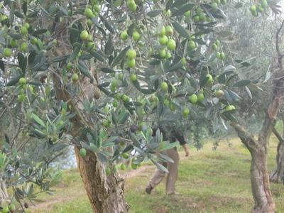 基地里橄榄树生长情